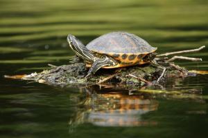 Iargo Springs Turtle